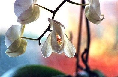 orchidee qui fane