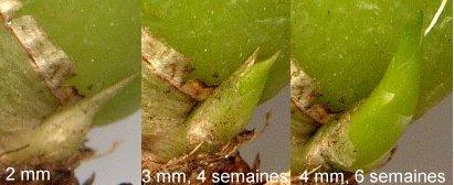 La multiplication des orchidées par semis